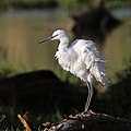 Little Egret, Egretta garzetta at Rietvlei Nature Reserve - 2 (35735686554).jpg