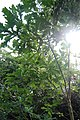 Little oak tree, Scotswood Community Garden, Newcastle upon Tyne - geograph.org.uk - 1463443.jpg