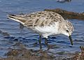 Little stint, Calidris minuta (Erolia minuta), at Marievale Nature Reserve, Gauteng, South Africa (30255987341).jpg