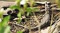 Lizard in Ranthambore.jpg
