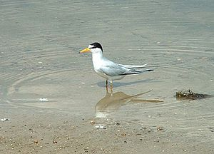 Lake Jackson (Tallahassee, Florida) - Least tern at Lake Jackson, Florida, May 2004