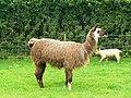 Llama, Roves Farm, Sevenhampton - geograph.org.uk - 828226.jpg