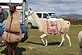 Llamas & Alpacas out for a walk on Dartmoor (50356680998).jpg