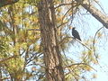 Lookout Raven 8-7-2013.jpg