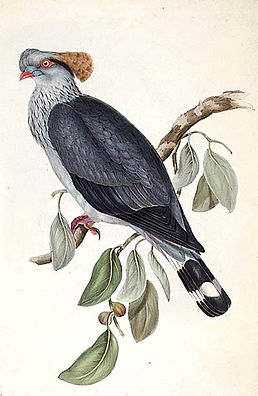 Lopholaimus antarcticus lithograph.jpg