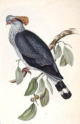 Hauben-Fruchttaube (Lopholaimus antarcticus); Lithographie aus The Birds of Australia vol. V, 1848 von Elizabeth Gould