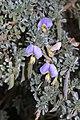 Lotononis sericophylla (Fabaceae) (4629044427).jpg