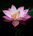 Lotus 2013 sai.jpg