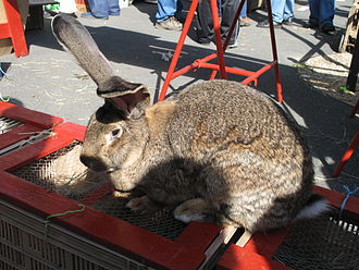Flemish Giant rabbit - Flemish Giant rabbit in captivity