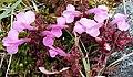 Lousewort (Pedicularis sylvatica) - geograph.org.uk - 1377248.jpg