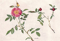 Low or Pasture Rose (NGM XXXI p506).jpg
