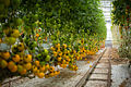 Lufa Farms Yellow Cocktail Tomato Row2.jpg