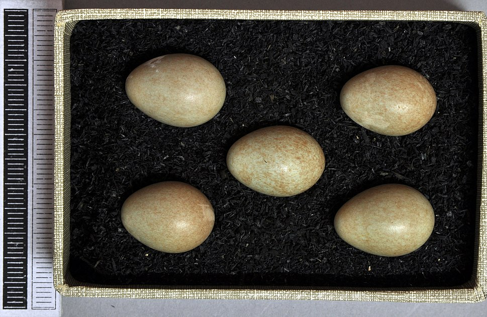 Luscinia svecica MWNH 1799