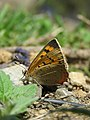Lycaena phlaeas (Linnaeus, 1761) – Common Copper during LGFC - Bhutan 2019 (10).jpg