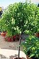 Lycianthes rantonettii 2zz.jpg