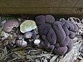 Lycoperdon subincarnatum Peck 907531.jpg