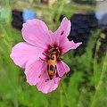 Lytta quadrimaculata (Coleoptera).jpg