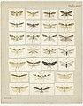 MA I437627 TePapa Plate-XXVIII-The-butterflies full.jpg