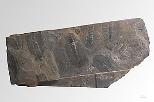 Ogygopsis - Ogygopsis canadense - Cambrian - Mount Stephen, British Columbia; Muséum de Toulouse