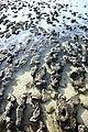 MK-08232 Hamelin Pool Stromatolites.jpg