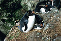 MacquarieIslandRockhoppers.JPG