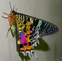 Madagascan sunset moth (Chrysiridia rhipheus), Vohimana reserve, Madagascar (cropped).jpg