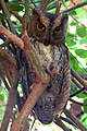 Madagascar torotoroka scops owl otus madagascariensis.jpg