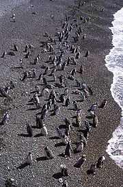 Magellanic penguins on the Patagonian coast