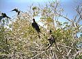 Magnificent Frigatebirds (Fregata magnificens) - Flickr - S. Rae.jpg