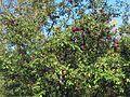 Magnifique pommier sur le chemin des Lacs à Bellefeuille (6188129334).jpg