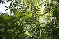 Magnolia tripetala 13zz.jpg