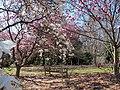 Magnolias at National Arboretum (25695951260).jpg