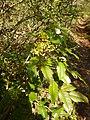 Mahonia aquifolium (Berberidaceae) 02.jpg