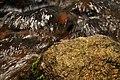 Malabar Torrent Dart from Valparai Anamalai hills DSC 2870.JPG