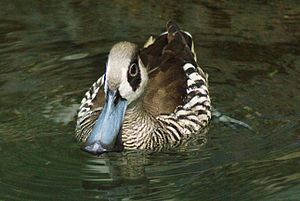Pink-eared duck - At Central Park Zoo, New York, United States