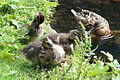 Mallard and ducklings at Wallington - geograph.org.uk - 1390429.jpg