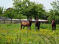 Malouy (Eure, Fr) chevaux dans un verger.JPG