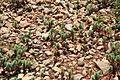 Malta - Ghajnsielem - Comino - Euphorbia pinea 02 ies.jpg