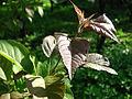 Malus fusca leaves 02.JPG