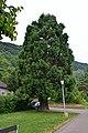 Mammutbaum-Sequoiadendon giganteum - panoramio.jpg