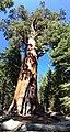 Mammutbaum Yosemite (22222938996).jpg