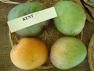 Kent (mango) - 'Kent' mangoes at the Redland Summer Fruit Festival, Fruit and Spice Park, Homestead, Florida