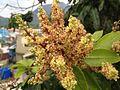 Mangoflowers1.jpg