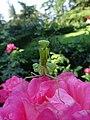 Mantis religiosa in Nilitsky Botanical Garden 3.jpg