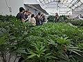 Marijuana tourism in Denver Colorado.jpg