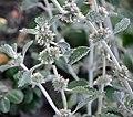 Marrubium incanum Silver Horehound თეთრადდაბუსული ფოლორცის ბალახი.JPG