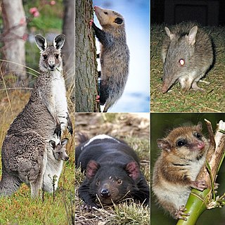 Marsupial Members of the mammalian infraclass Marsupialia. Well-known marsupials include kangaroos, wallabies, koalas, possums, opossums, wombats, and Tasmanian devils.