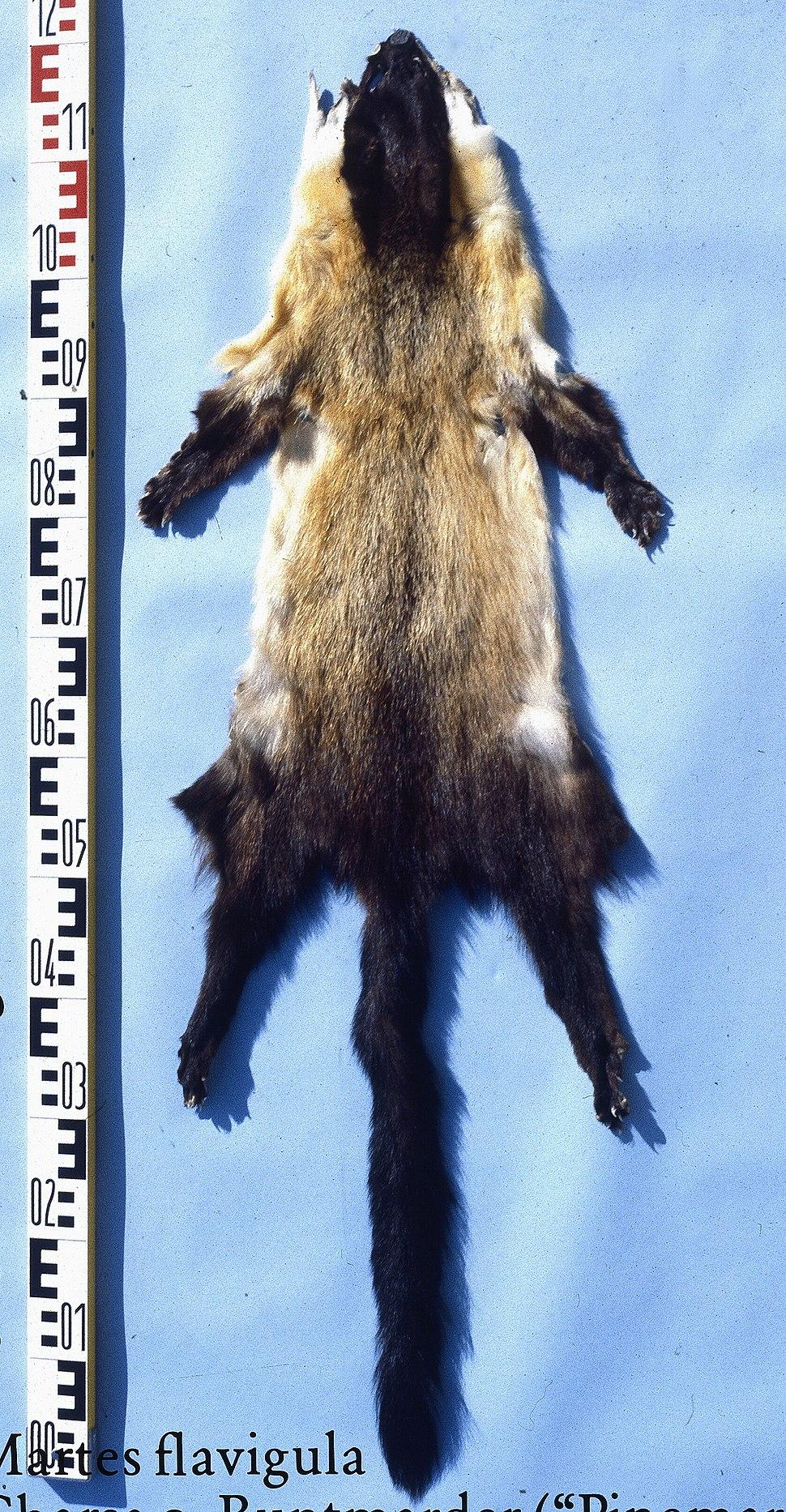 Martes flavigula (Indian marten) fur skin