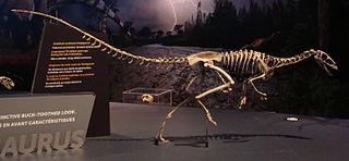 Noasauridae family of reptiles (fossil)