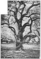Maury Geography 095B olive tree.jpg